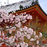 京都桜の名所おすすめランキングを巡るコースとライトアップ時間や見頃情報!