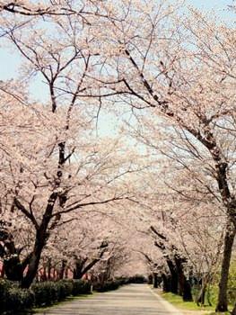 忠元公園 桜