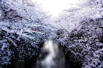 目黒川の桜2017年の満開時期や見頃とライトアップ期間や時間をご紹介!
