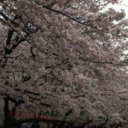 上野恩賜公園 桜 画像