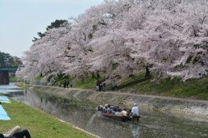 岡崎公園の桜まつり