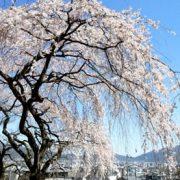 岩屋寺の桜の画像