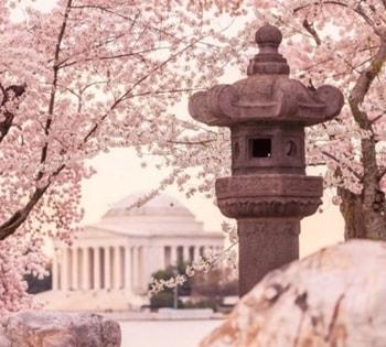 ワシントン 桜祭り