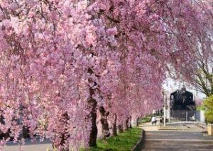 日中線記念自転車歩行者道のしだれ桜