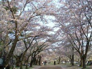 盛岡城跡公園 桜