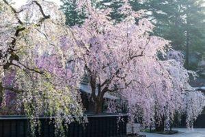 角館武家屋敷 桜