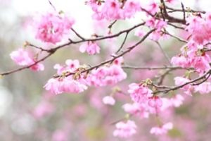 名護城公園 桜の画像