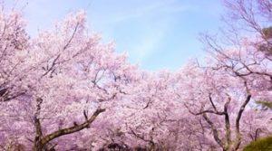 小城公園の桜の画像