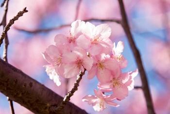 河津桜 東京の画像