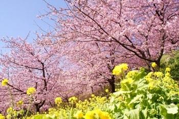 河津桜-画像