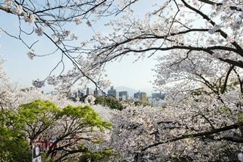 西公園福岡の桜の画像
