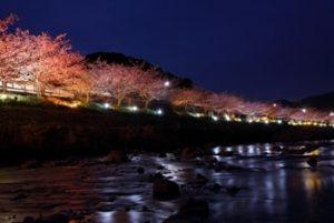 河津桜のライトアップ-画像